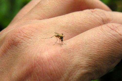 Mosquito-500x333